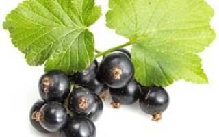 Черная смородина при простуде беременным. Видео: какая смородина полезней — черная, красная или белая? Отвары из смородины, плодов и листочков
