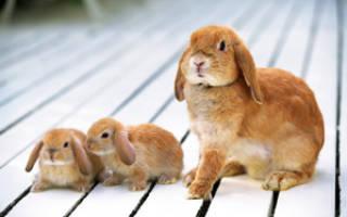 Срок вынашивания крольчат. Сколько необходимо беременной крольчихе ходить в ожидании окрола